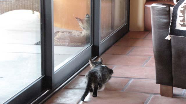 Рысь пришел в гости к коту
