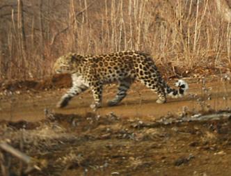 В Китае удалось сфотографировать редкого леопарда