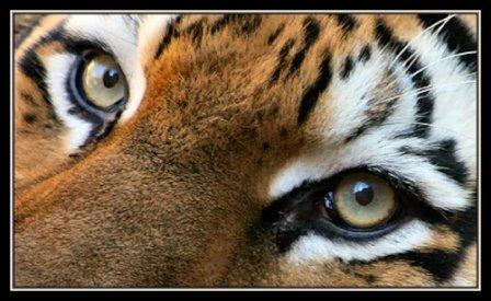 Твитнем все вместе Путину в защиту тигра! (дополнено)