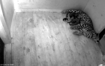 Амурские леопарды родились под прицелом веб-камер