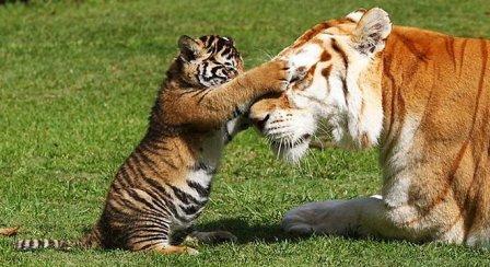 Новая жизнь бенгальских тигрят (фото, видео)