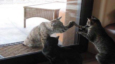 Рысь пришла в гости к кошкам