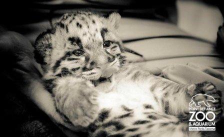 Дымчатые леопарды из Такомы (фото, видео)