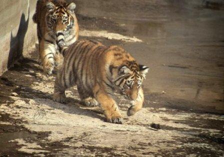 Тигриная охота
