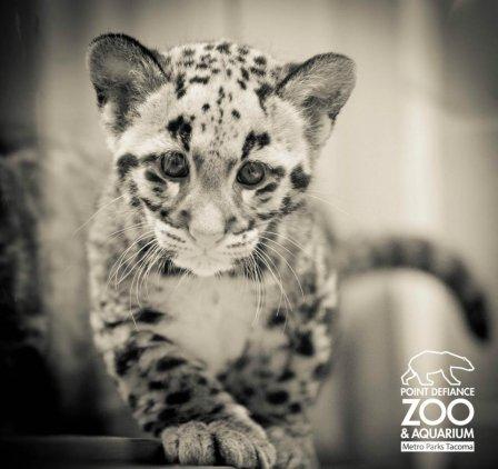 Два маленьких дымчатых леопарда из Вашингтона обрели имена