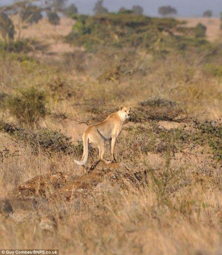Уникальная находка: гепард без пятен