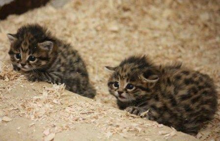 Черноногие кошки из Кливленда