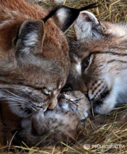 Детеныши рыси в зоопарке Владивостока