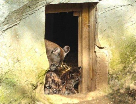 Три детеныша пумы из английского зоопарка