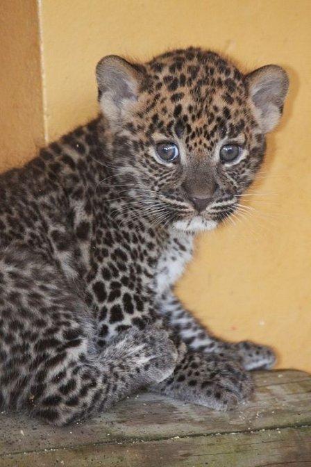 Цейлонские леопарды из Франции