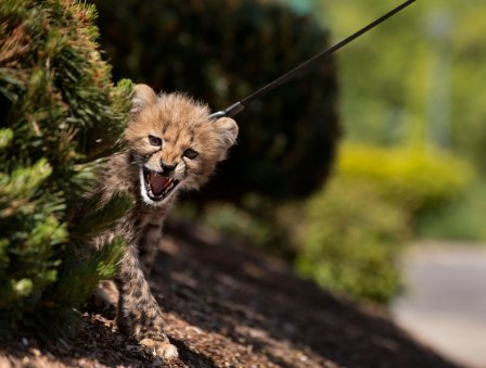 Детеныши гепарда на прогулке