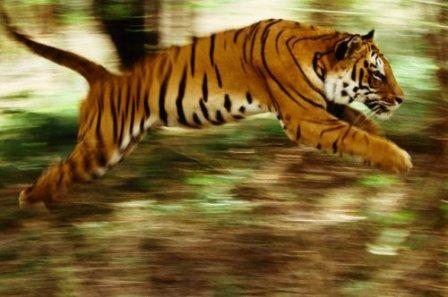 В Индии разрешили расстреливать браконьеров, охотящихся на тигров