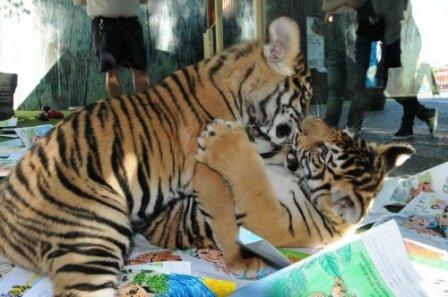 Два тигренка выбрали эмблему для сообщества зоопарка