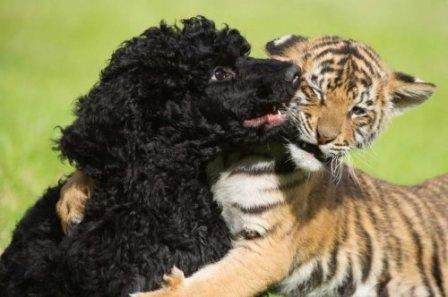Пёс Дэнзел и маленькая тигрица - лучшие друзья