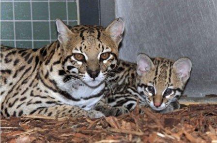 Тайна рождения оцелота в Берлинском зоопарке