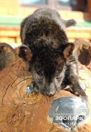 Малыш черного ягуара из Екатеринбургского зоопарка