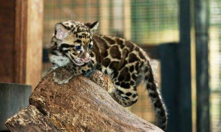 В сингапурском зоопарке родились детеныши дымчатого леопарда
