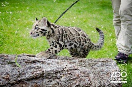 Шоу от дымчатых леопардов