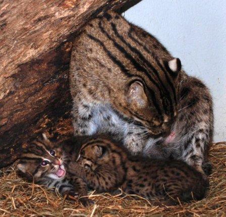В Смитсоновском зоопарке родились котята - рыболовы