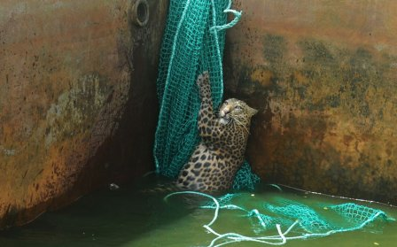 В Индии спасли упавшего в водный бак леопарда
