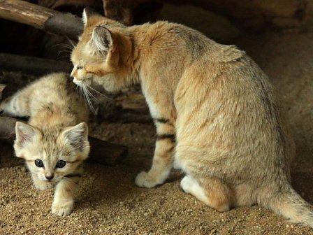 Барханная кошка с детенышем из Брно (7 фото)