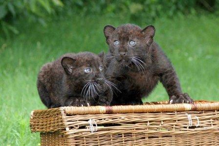 В Tierpark Zoo родились две пантеры (6 фото)