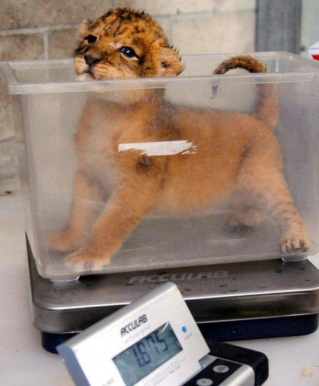 Первый львенок с 1974 года родился в зоопарке Джексонвилля