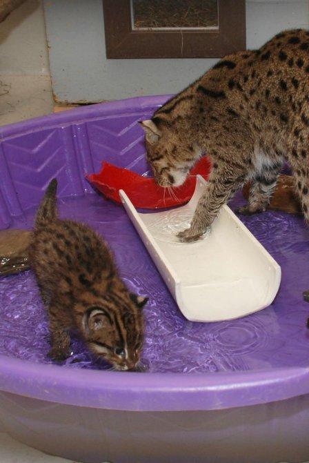 Котята-рыболовы в Смитсоновском зоопарке
