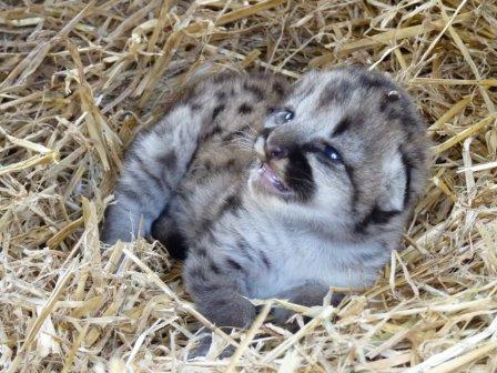В канадском зоопарке родился детеныш пумы
