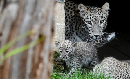 Три детеныша персидского леопарда из Ганновера