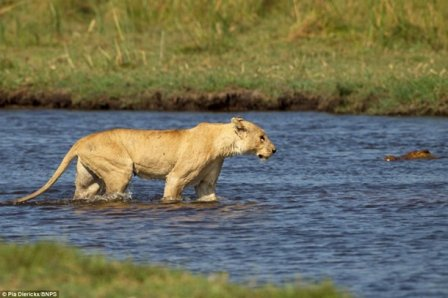 Схватка львицы и крокодила