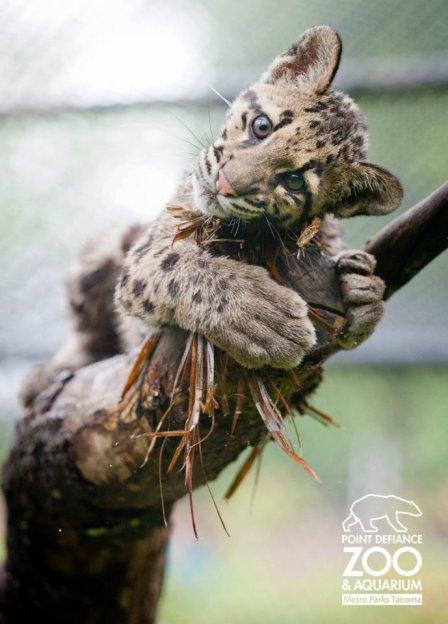 Игры дымчатых леопардов