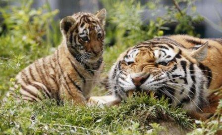 Очаровательное трио амурских тигров
