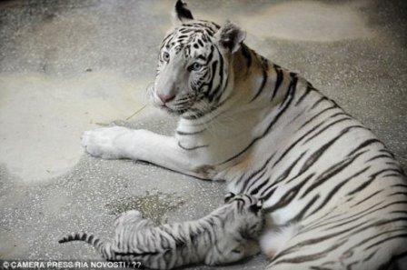 Екатеринбуржские тигрята чувствуют себя прекрасно
