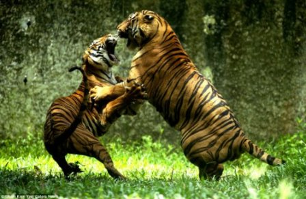 Что не поделили эти два тигра, до сих пор остаётся загадкой...