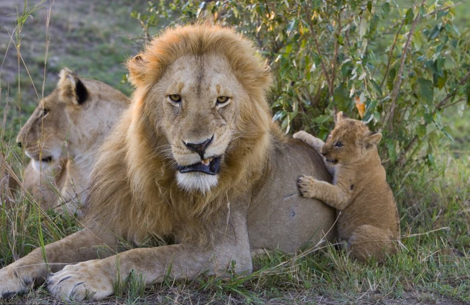 Его самки львица переносит львенка