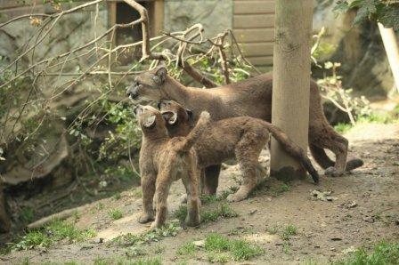 Детеныши пумы из зоопарка Exmoor Zoo