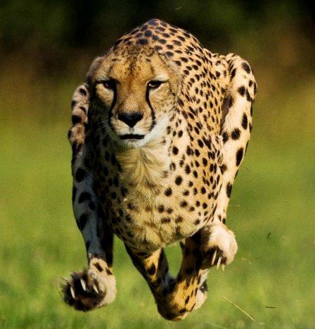 Гепард Сара стала самым быстрым животным на Земле