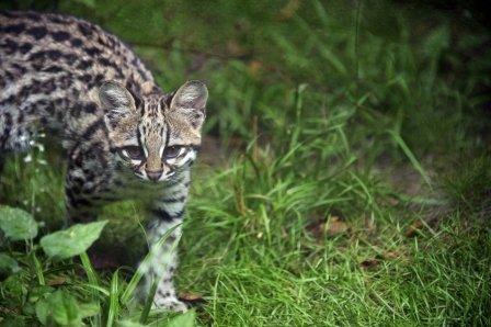 Тигровая кошка Чикита из французского зоопарка