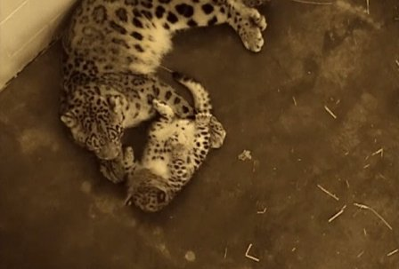 Милые снежные барсята играют со своей мамой