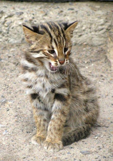 В красноярском зоопарке родились лесные дальневосточные котята