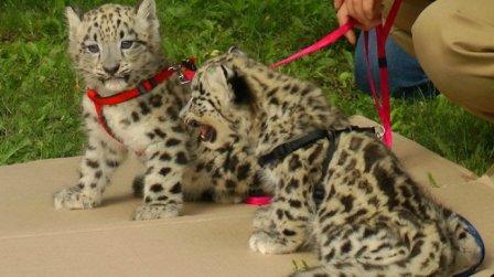 Два барсенка на прогулке в Ленинградском зоопарке