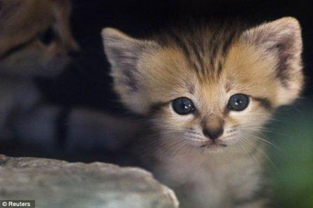 Песчаные котята из зоопарка Тель-Авива