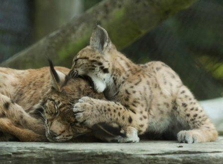 Карпатский рысенок вместе со своей мамой