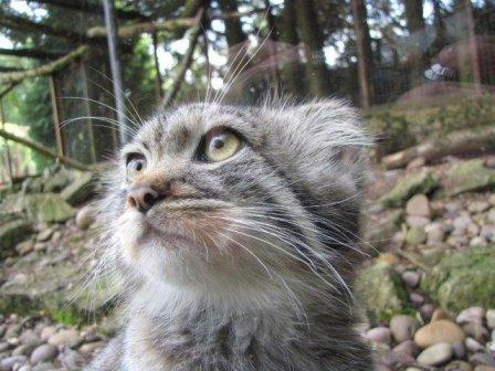 Зоопарк Banham Zoo представил детенышей кота манула