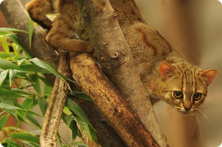 Пятнисто-рыжая кошка