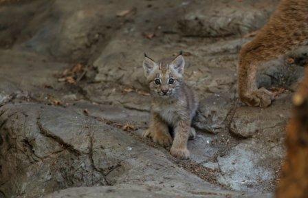 Рысенок из канадского зоопарка вышел в свет