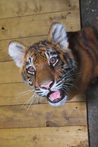 Киевский зоопарк отпраздновал День рождения тигрят-двойняшек
