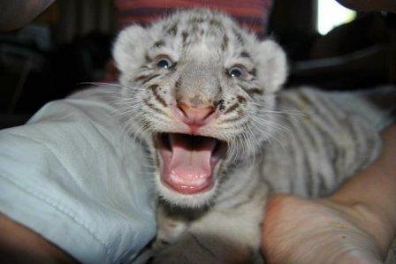 Белые тигрята из Южной Дакоты