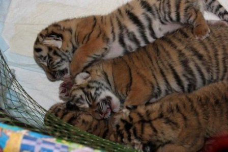 """В ялтинской """"Сказке"""" тигрица Зара родила шестерых тигрят"""